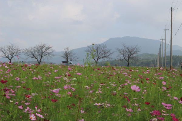 近江八幡の観光スポット「コスモス畑」