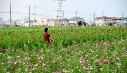【家族の平凡な週末旅】滋賀の広大なコスモス畑と癒やしの水郷を巡って来た