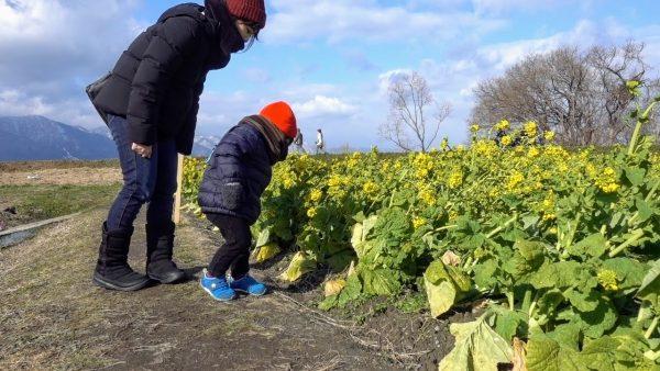 菜の花の高さは2歳の子供の背丈くらいでした。迷路みたいですね。