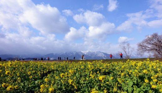 守山なぎさ公園の菜の花畑2019|雪山を背景に咲く黄色い花々