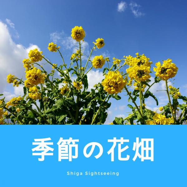 滋賀の季節の花畑(冬)
