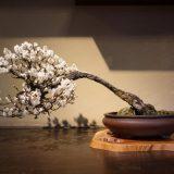 イナバウアー状態の盆梅。支えもなく良くこの姿勢を維持できますね…