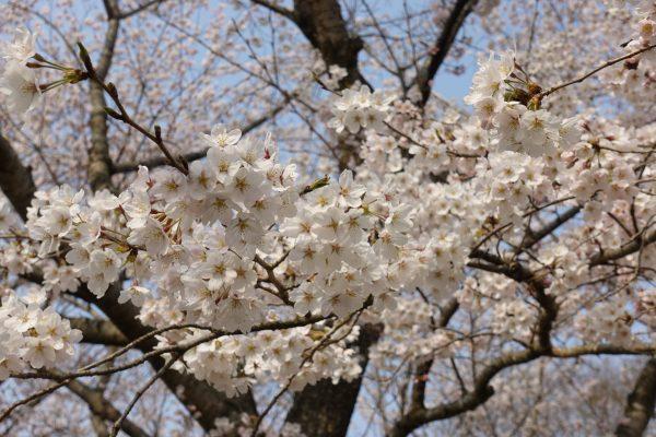 満開の桜並木はとってもキレイ!4月上旬が見頃でしたよ!